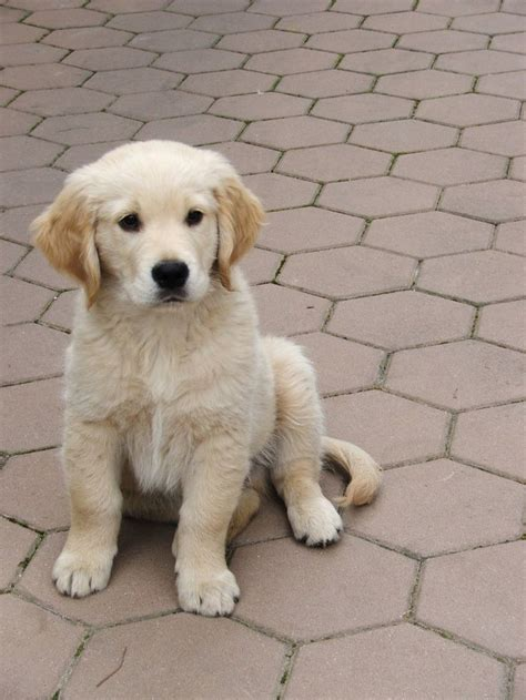 Golden Retriever Puppy Puppy Love Pinterest Cas