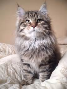 siberian cats for siberian favourite cat breeds