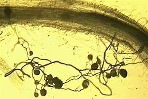 Part of a clover root (upper part of the image) naturally ...