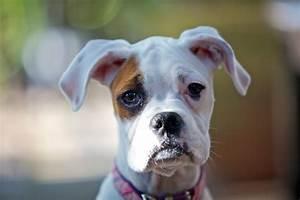 White Boxer Puppy | Follow me on Twitter!! @MissMayZ | Nic ...