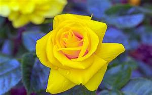 Yellow Rose Wallpapers Images Photos Pictures Backgrounds
