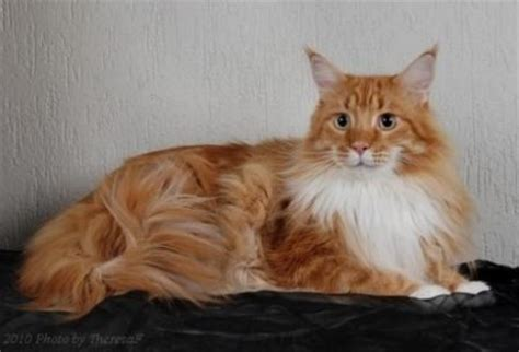 maine coon cat facts maine coon cats breed profile and facts