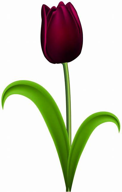 Tulip Clip Clipart Transparent Single Flower Dark