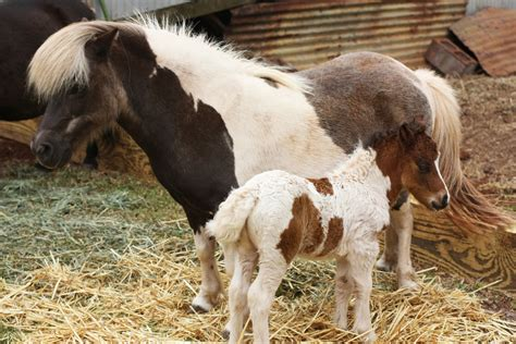 horse mini imagens potrillo cavalos poney junto lindo madre galeria bebe advertisements sees mary fondos