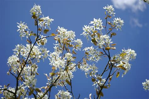 blooming trees in flowering trees in virginia a guide for spring