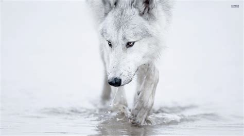 1080p Wolf Wallpaper Hd by Wolf Wallpapers 1920x1080 Wallpaper Cave
