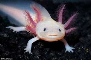 Smiling salamander threatened with extinction becomes star ...