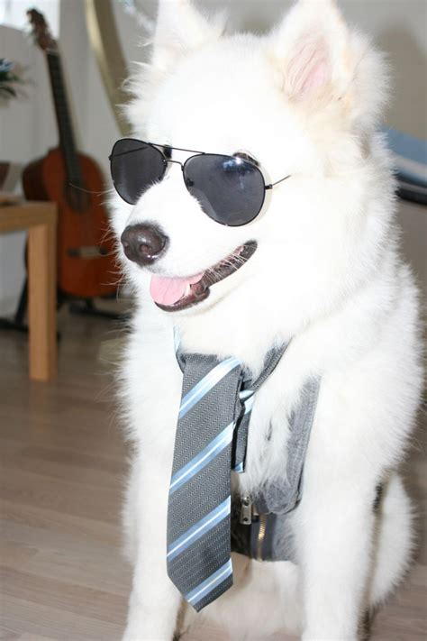 49 Best Best Samoyed Pictures Selection Images On