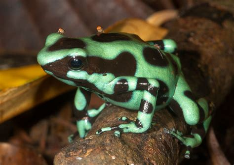green  black dart poison frog dendrobates auratus