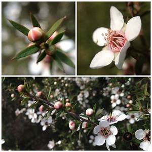 Healing : Manuka or Tea Tree | soulsister