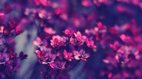natur lila blumen hintergrund hd hintergrundbilder