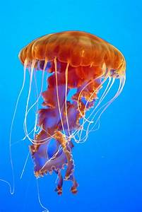 Ascending Jellyfish Photograph by Carla Parris