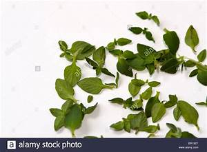 Fresh thyme leaves Stock Photo, Royalty Free Image ...
