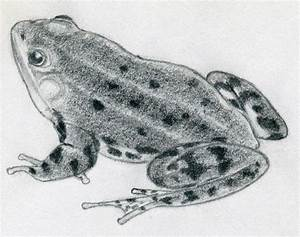 How To Draw A Frog Quickly