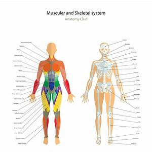 Muscular System Diagram Front And Back View