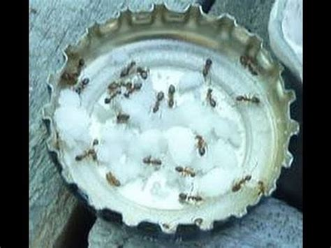 natural ant control  borax youtube