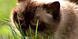 Herbe à Chat : pourquoi mon chat mange de l 39 herbe ~ Melissatoandfro.com Idées de Décoration