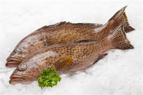 grouper fish frozen facts exporters interesting seafood eating snapper fillets should know meat caught