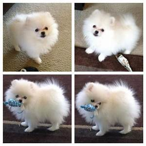 White Pomeranian puppies for sale by The Bomb poms. See ...