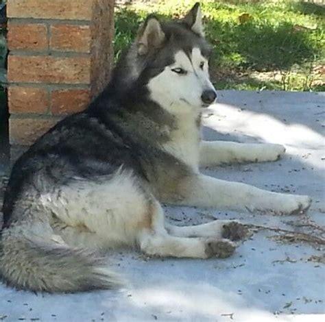 303 best images about malamute s siberian samoyed husky