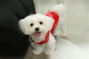 Best Small Dog Breeds Maltese