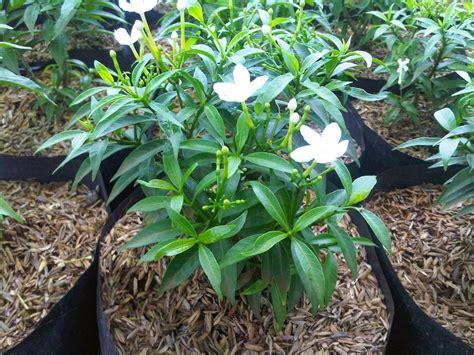 jual bibit bunga sabrina lapak gerai tanaman fabianwisnu