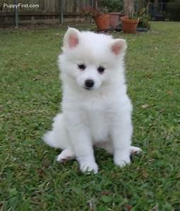 25+ best ideas about American eskimo puppy on Pinterest ...