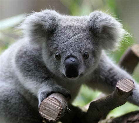 habitat si鑒e social il koala e i pericoli per il suo popolo