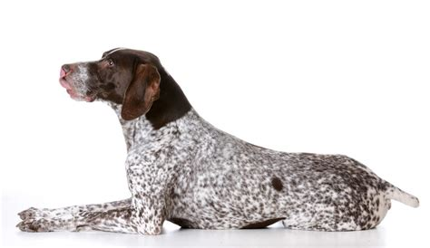 german shorthaired pointer shedding german haired pointer dogs breed information omlet