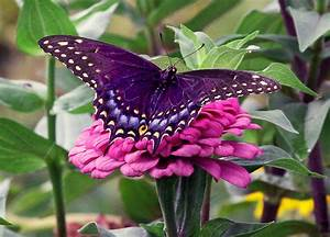 Myths, Symbolism and Meaning of Purple Butterflies