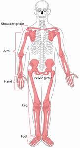 Appendicular Skeleton Diagram Clip Art At Clker Com