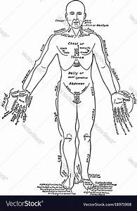 Front View Of The Parts Of The Human Body Labeled Vector Image