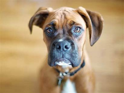 Boxer Dog Boxers Wallpapers Background Dogs Brown