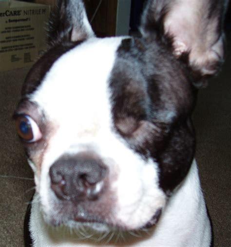 Boston Terrier Skin Rash Goldenacresdogscom