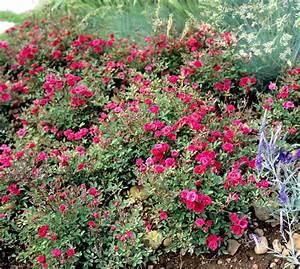 Arbres Fruitiers Nains En Pleine Terre : mini rosier planter et cultiver ooreka ~ Premium-room.com Idées de Décoration