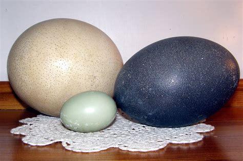 Ostrich Egg Size