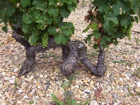 cuisine bergerac vieux pied de vigne photo de eté 2004 medoc bergerac