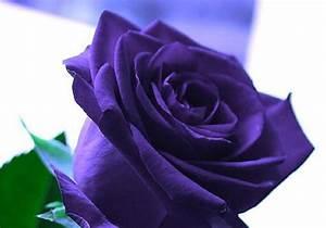 Single purple rose