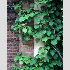 Perennial Vines  Vines Climbers & Twiners  U Of I Extension