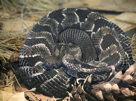 They're Rare, But They're There - 4 Venomous Snakes in Indiana