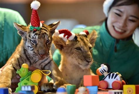 baby lion  tiger share christmas joy shanghai daily