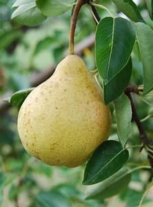 Fruit Warehouse: Pir ( Pear )