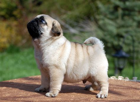 Cute Pug Puppy Pugggys And Occasionally Other Cute