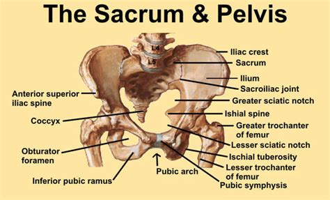 Muscles Of The Pelvic Floor Quiz by Pelvic Fractures Physiopedia Universal Access To