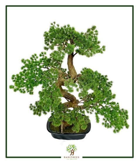 ต้นบอนไซใบสน 70cm (RBS009) - RAMITREES (รมิทรี)