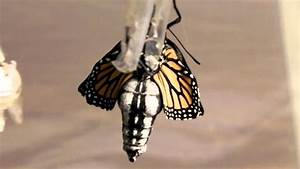 Monarch Butterfly Hatching From Its Chrysalis