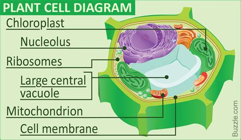 A Labeled Diagram Of The Plant Cell And Functions Of Its Organelles