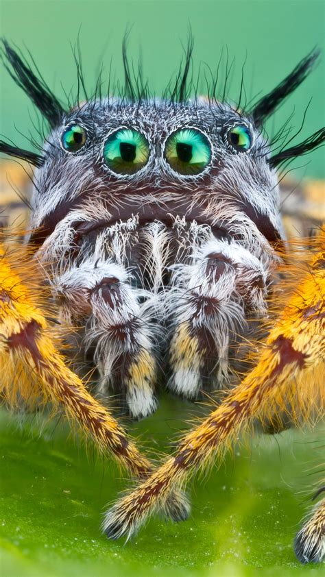 wallpaper bagheera kiplingi spider macro animals