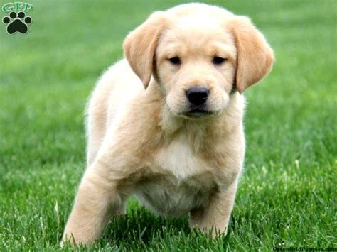 golden retriever mixed  labrador puppies  sale