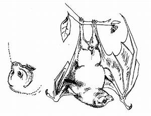 Fruit Bat Drawings Images & Pictures - Becuo - AZ Coloring ...